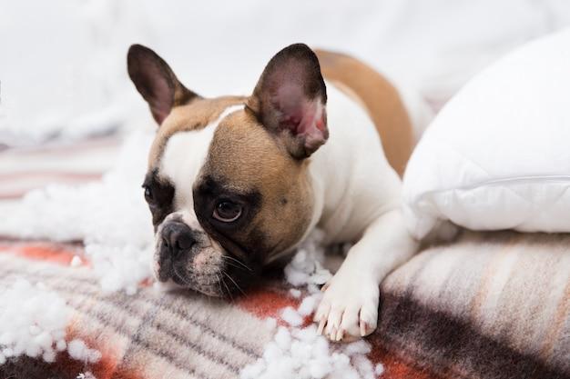 Domowy niszczyciel dla zwierząt domowych leży na łóżku z poszarpaną poduszką. streszczenie zdjęcie opieki nad zwierzętami. mały winny pies o śmiesznej twarzy.