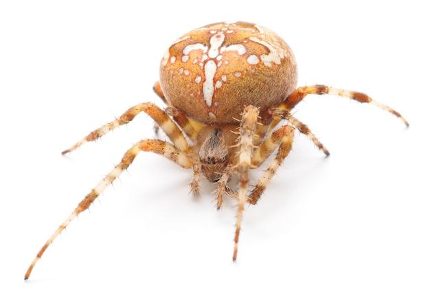 Domowy pająk na białym tle
