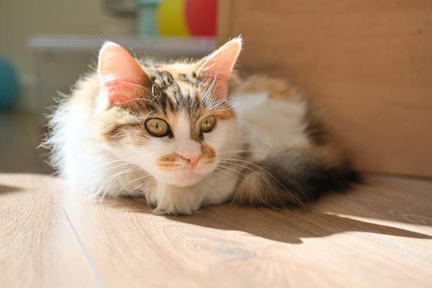 Domowy trójkolorowy kot leżący na podłodze w pokoju