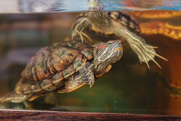 Domowy żółw Czerwonolicy W Akwarium. Suwak Stawu. Trachemys Scripta. Premium Zdjęcia