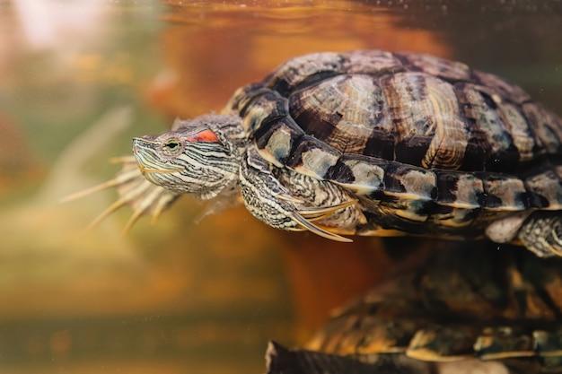 Domowy żółw czerwonolicy w akwarium. suwak stawu. trachemys scripta.
