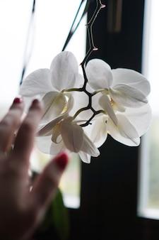 Doniczka w pobliżu dużego okna. biała orchidea na parapecie. czarne zasłony - rano