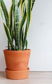 Doniczka z sanseverią na stole, rośliny domowe