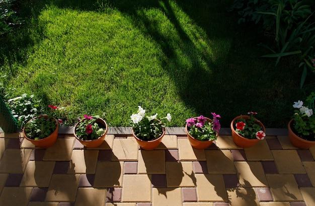 Doniczki z kwiatami petunii stojące na ziemi w przydomowym ogródku obok zielonego trawnika.