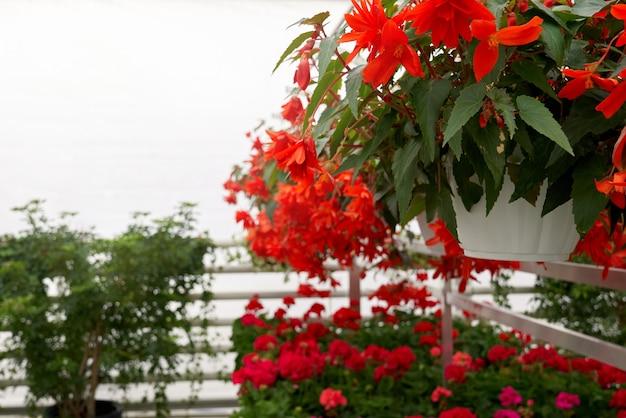 Doniczki z pięknymi czerwonymi kwiatami w nowoczesnej szklarni