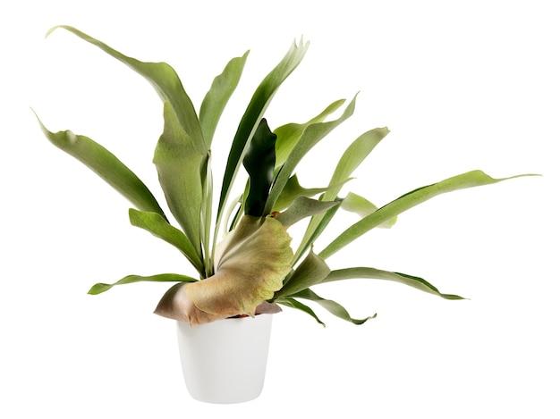 Doniczkowa roślina platycerium bifurcatum na białym tle biały z copyspace
