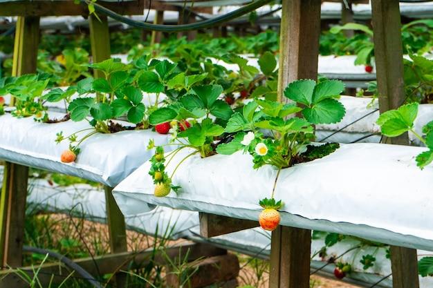Doniczkowe półki i system nawadniania plantacji truskawek w malezji.