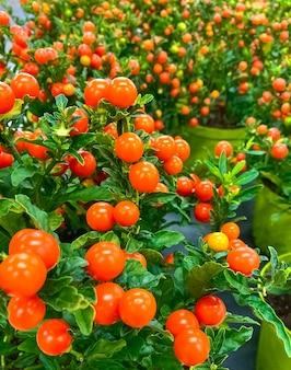 Doniczkowe rośliny czereśni ozimej lub wiśnia jerozolimska solanum pseudocapsicum