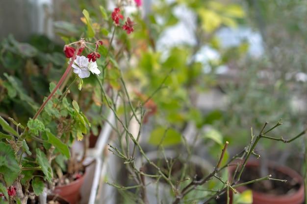 Doniczkowe rośliny domowe z kwiatami