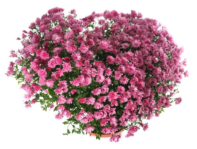 Doniczkowy krzew chryzantemy magenta w kształcie serca (z rosą, na białym tle)
