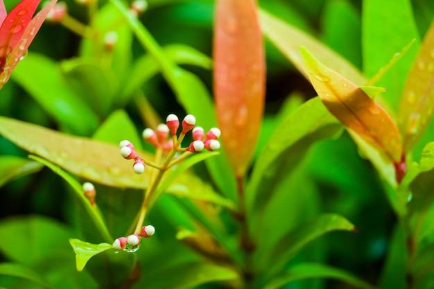Dorastają młode nasiona i czerwone liście christiny