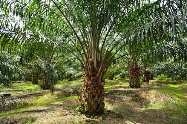 Dorastająca plantacja oleju palmowego.