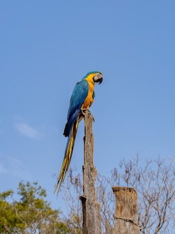 Dorosła ara niebiesko-żółta z gatunku ara ararauna