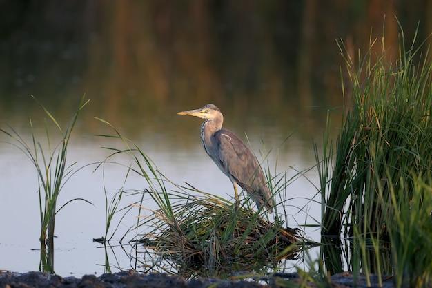 Dorosła czapla siwa (ardea cinerea) wczesnym rankiem w łagodnym słońcu stoi w jeziorze otoczonym zieloną roślinnością