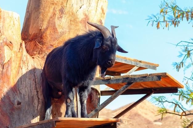 Dorosła czarna koza. portret kozy na schodach gospodarstwa