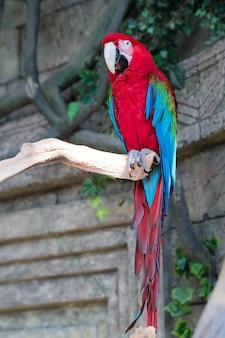 Dorosła czerwona ary papuga na gałąź