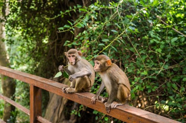 Dorosła czerwona twarz małpuje rhesus makaka w tropikalnym natura parku hainan, chiny. bezczelna małpa w naturalnym lesie. przyrody scena z niebezpieczeństwa zwierzęciem. macaca mulatta.