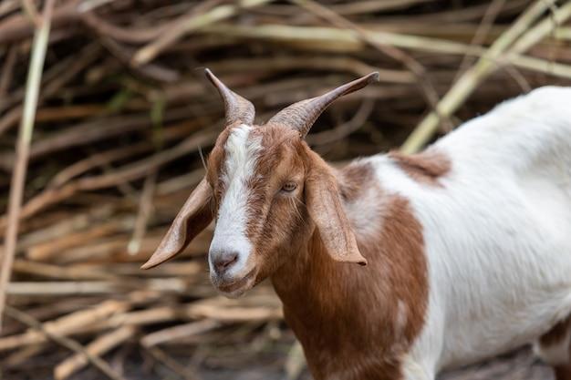 Dorosła koza czerwono-biała z rogami i na mięso kozła.