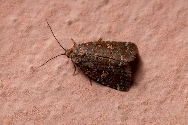 Dorosła mała ćma z rzędu lepidoptera