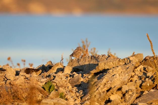 Dorosła mała sowa siedzi na ruinach farmy w łagodnym świetle poranka