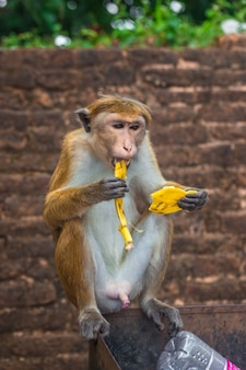 Dorosła małpa siedzi i je owoce bananów w lesie na sri lance