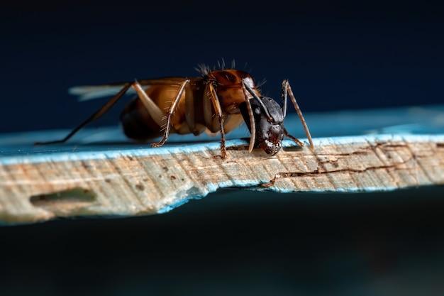 Dorosła mrówka stolarska z rodzaju camponotus