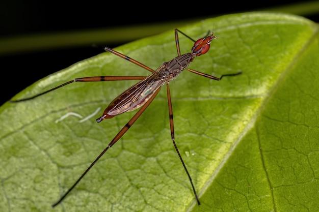 Dorosła mucha szczulonoga z rodzaju micropeza