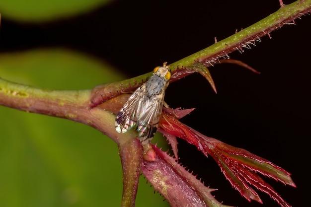 Dorosła muszka owocowa z plemienia tephritini