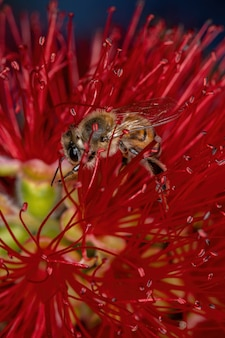 Dorosła pszczoła miodna z gatunku apis mellifera zapylająca kwiaty szczotki do butelek