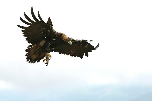 Dorosła samica hiszpańska imperial latająca o pierwszym świetle dnia .