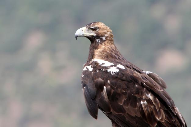 Dorosła samica hiszpańskiego orła cesarskiego na swojej ulubionej wieży strażniczej z pierwszym światłem świtu w zimowy dzień
