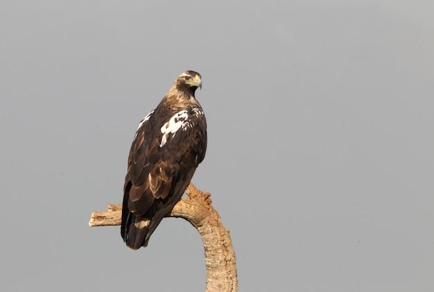 Dorosła samica hiszpańskiego orła cesarskiego na swojej ulubionej wieży strażniczej z pierwszymi porannymi światłami