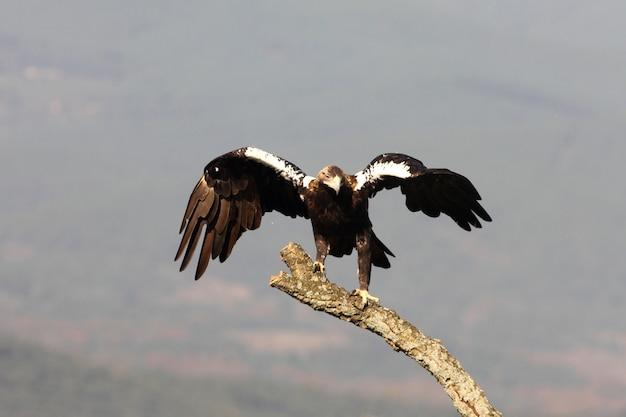 Dorosła samica hiszpańskiego orła cesarskiego w twojej ulubionej wieży strażniczej w śródziemnomorskim lesie w wietrzny dzień wczesnym rankiem