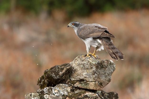 Dorosła samica jastrzębia północnego na skale z ostatnimi światłami jesiennego dnia w lesie dębów, sosen i dębów korkowych