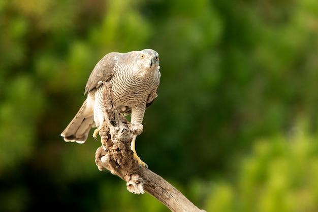 Dorosła samica jastrzębia północnego przy swojej ulubionej wieży strażniczej w sosnowym lesie o ostatnim świetle dnia