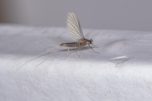 Dorosła samica jętki z rzędu ephemeroptera