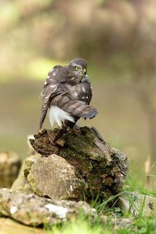 Dorosła samica krogulca zwyczajnego na swoim zwykłym okonie w świetle późnego popołudnia