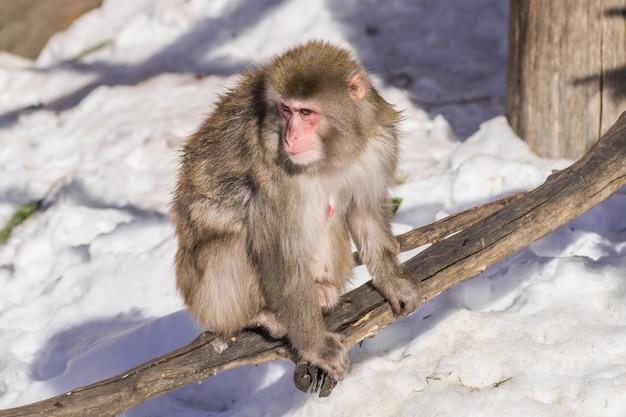 Dorosła samica makak japoński macaca fuscata