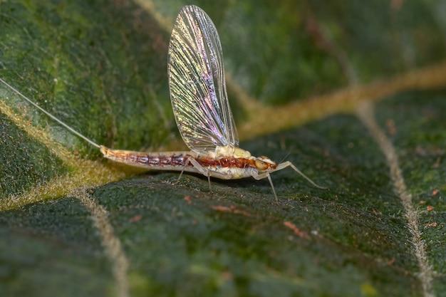 Dorosła samica mała jętka z rodziny baetidae