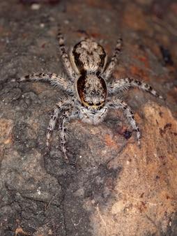 Dorosła samica pająka skaczącego na szarej ścianie z gatunku menemerus bivittatus