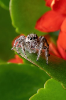 Dorosła samica pająka skaczącego z gatunku megafreya sutrix na płonącej roślinie katy z gatunku kalanchoe blossfeldiana