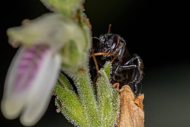Dorosła samica pszczoły bezżądłowej z rodzaju trigona na kwiat z gatunku justicia glischrantha
