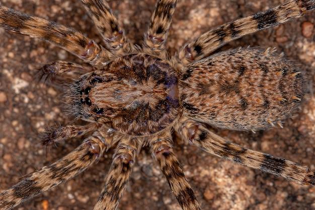 Dorosła samica wędrownego pająka z rodziny ctenidae