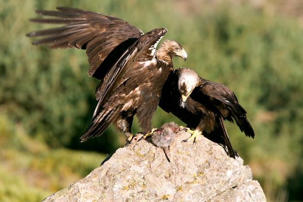 Dorosła samiec i samica hiszpańskiego orła cesarskiego jedzącego królika, aquila adalberti