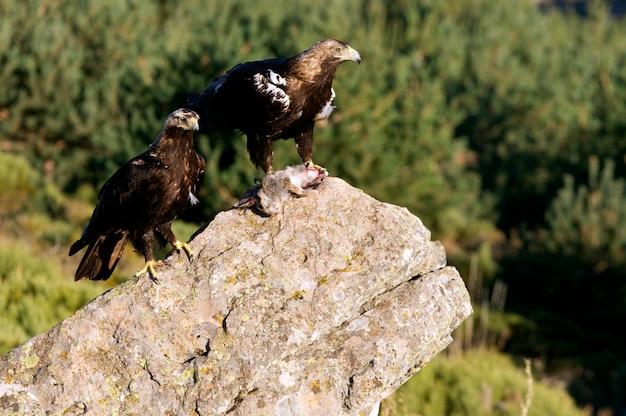 Dorosła samiec i samica hiszpańskiego orła z królikiem. aquila adalberti
