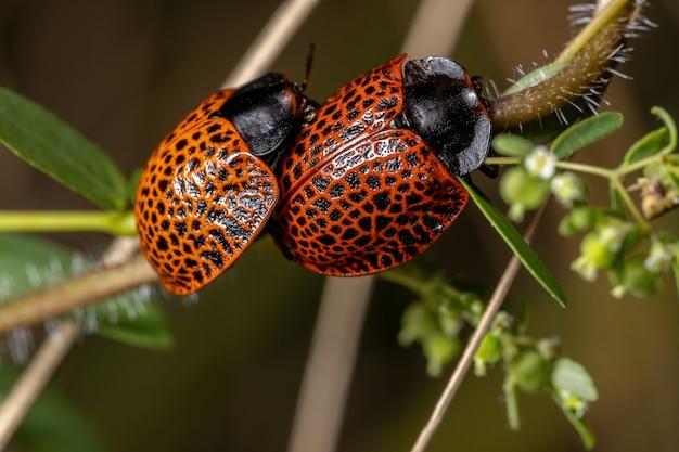 Dorosłe chrząszcze żółwia z rodzaju botanochara