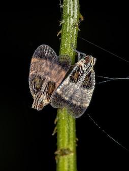 Dorosłe kopulujące małe skoczki z rodziny cixiidae