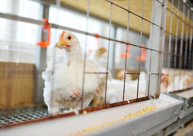 Dorosłe kury siedzą w klatkach i jedzą mieszanki paszowe