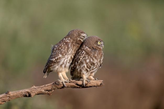 Dorosłe ptaki i pisklęta sów (athene noctua) fotografowane są z bliska na rozmytym tle.
