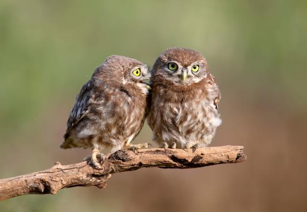Dorosłe ptaki i pisklęta sów athene noctua są z bliska